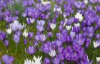 Closeup background of decorative purple spring Crocuses flowering in a green meadow